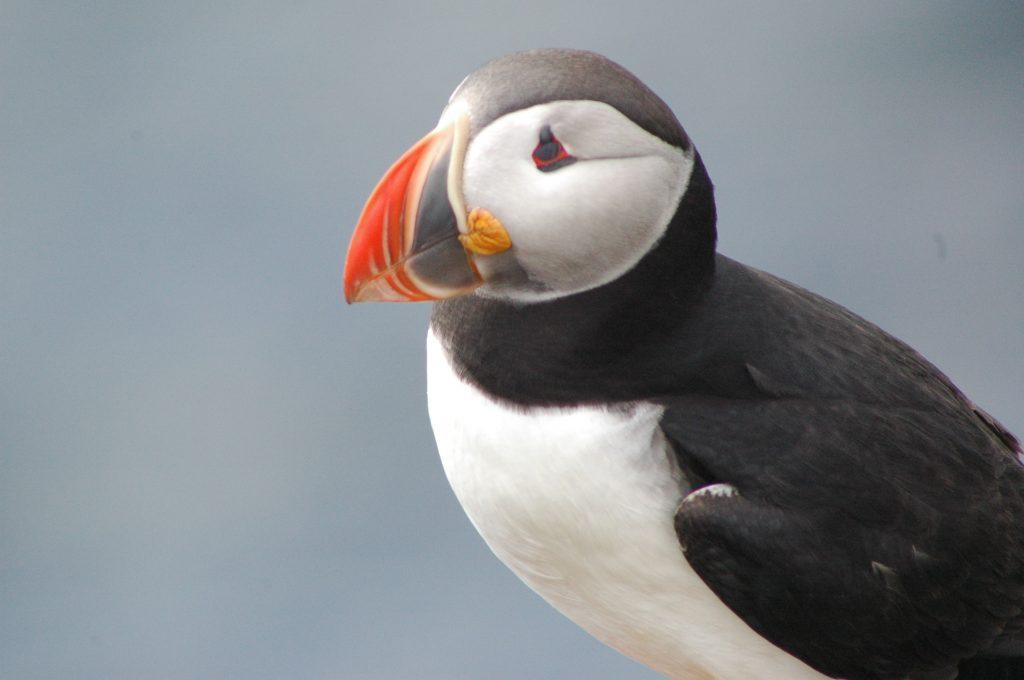 Papagaaiduiker, over heel IJsland te zien